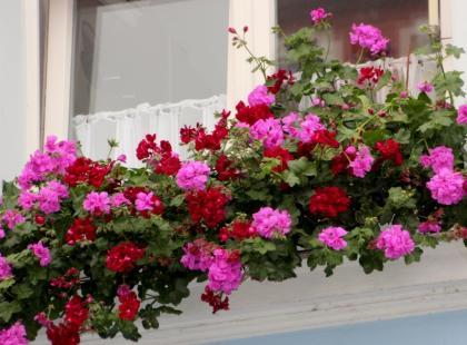 Najpiękniejsze kwiaty na balkon słoneczny. Jak o nie dbać?