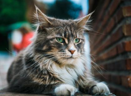 Największe rasy kotów domowych
