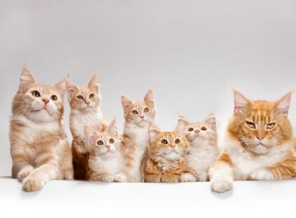 Nasz ranking 10 najładniejszych ras kotów - głosuj i ty!