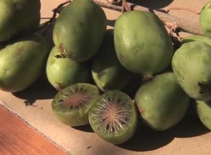 Naukowcy z SGGW wyhodowali mini kiwi! [video]