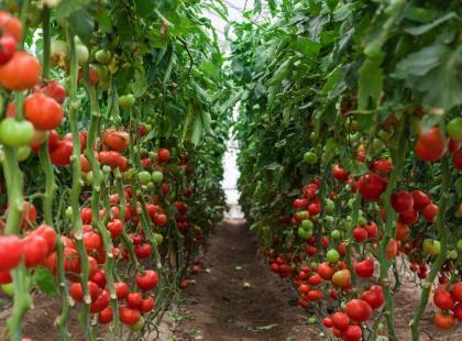Nie ma pyszniejszych warzyw, niż te ze swojego ogródka! Jak uprawiać pomidory?