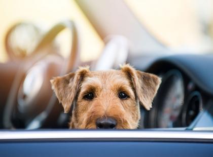 Nie zostawiaj psa w aucie podczas upałów! Każdy, kto zauważy, że zwierzęciu dzieje się krzywda, może zbić szybę i ty za to zapłacisz