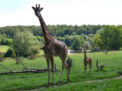 """Nie żyje żyrafa z poznańskiego zoo. Ludzie dokarmiający zwierzęta to plaga. """"Będziemy publikować ich zdjęcia"""""""