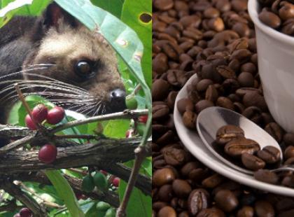 Niezwykła kawa - Kopi Luwak