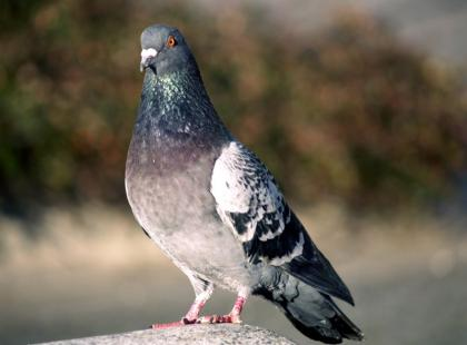 Obrzeżek gołębi – kleszcz groźny też dla ludzi