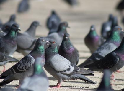 Obrzeżki atakują. Kleszcze gołębie są niebezpieczne dla ludzi