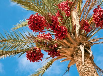 Olej z owoców czerwonej palmy
