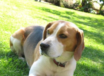 Oswajanie agresywnego psa z gośćmi domu