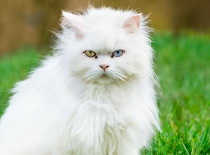 Oto 4 najpopularniejsze rasy kotów długowłosych: same zdjęcia sprawiają, że chce się je przytulić!