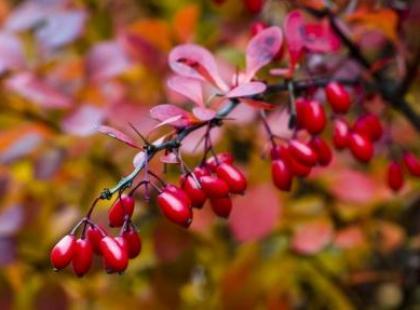 Owoce berberysu – na przetwory i nalewki