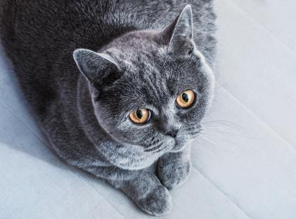Piękne i dostojne: oto zdjęcia i opisy 5 najpopularniejszych ras kotów krótkowłosych