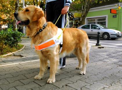 Pies asystujący – czworonożny przyjaciel niepełnosprawnego