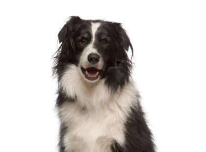 Pies dla aktywnych - jaką rasę wybrać?