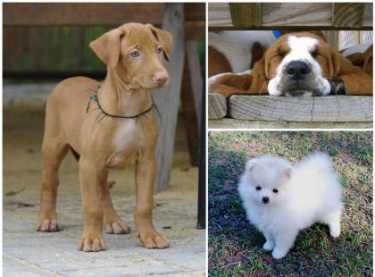 Pies - najdroższy przyjaciel człowieka. Czy wiesz, jakie rasy kosztują najwięcej?