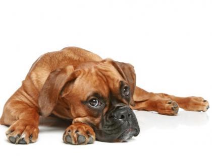 Pies z tęsknoty i nudów może podgryzać meble, dywany, buty.