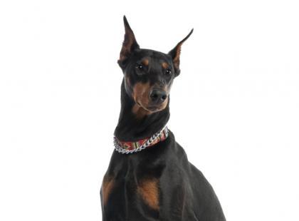 Pies Saneczkuje Po Dywanie Czy To Normalne Zwierzęta