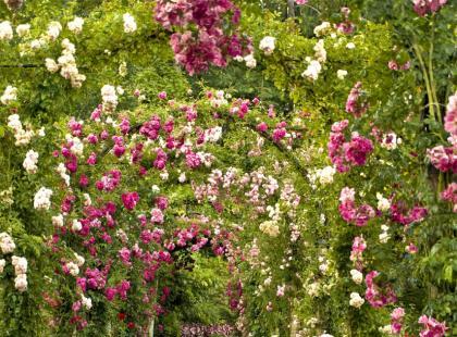 Pnące róże w ogrodzie