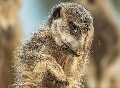 """Polna mysz udająca dyrygenta, wyszczerzona sowa, zawstydzona surykatka, czyli laureaci """"Comedy Wildlife Photography 2016"""""""