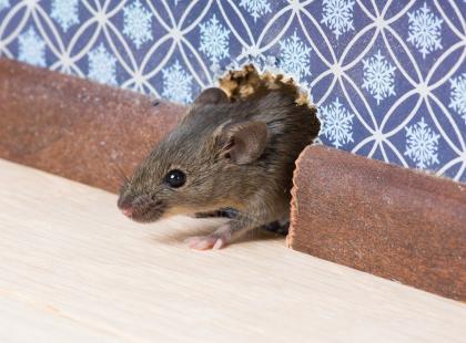 Porada dnia: 5 sposobów na to, jak pozbyć się myszy z domu