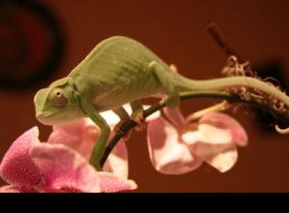 Pospolite schorzenia u kameleonów – jak zapobiegać i jak leczyć?