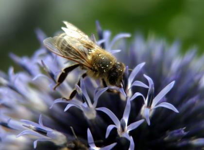 Propolis, czyli o leczniczym działaniu kitu pszczelego