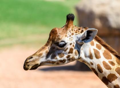 Przyjrzyj się tej uroczej żyrafce! Prawdopodobnie już niedługo będziesz oglądać ją tylko na archiwalnych zdjęciach...
