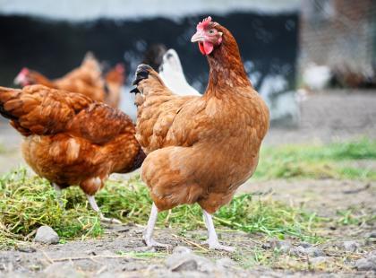 Ptasia grypa atakuje Polskę! Wprowadzono zakaz handlu żywym drobiem. Czy wirus zagraża ludziom?