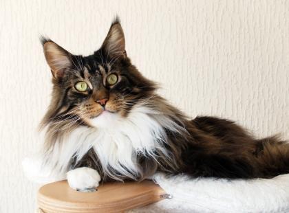 Ranking 5 najpopularniejszych ras kotów w Polsce