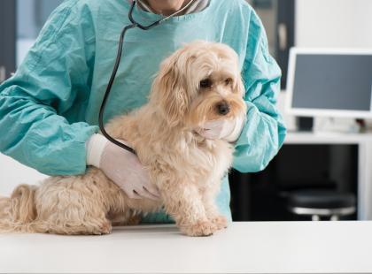 Rasowe psy bywają bardziej podatne na choroby niż kundle. Ale to nie znaczy, że muszą chorować!