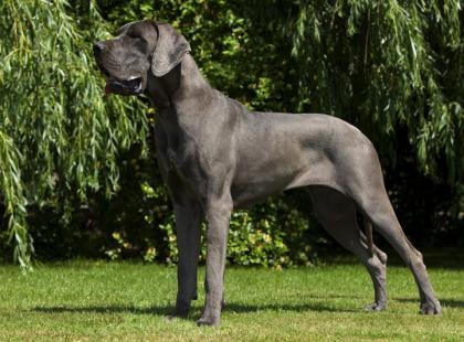 Rasy dużych psów - zdjęcia