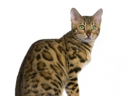 Rasy kotów o dzikim wyglądzie