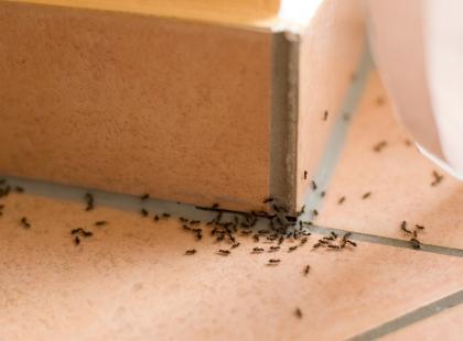 Ratunku! W moim domu są latające mrówki!