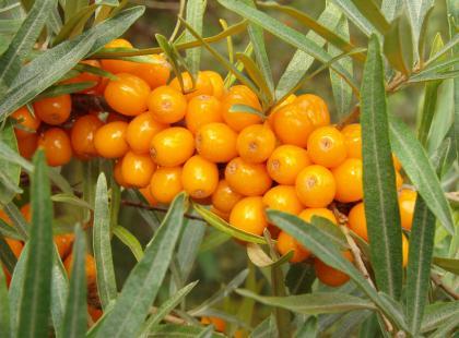Rokitnik zwyczajny - wartościowa roślina