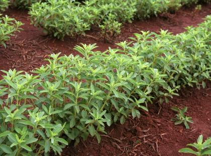 Roślina, która zastąpi cukier. Możesz ją mieć w ogrodzie lub na balkonie