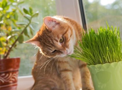 Rośliny, które będą bezpieczne dla twojego kota! Co możesz bezpiecznie trzymać na parapecie?