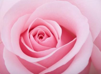 Róża - królowa