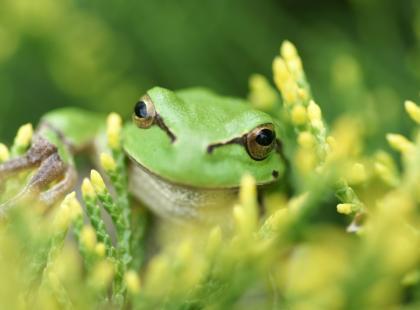 """Są wyniki sekcji 30-letniej ofiary rytuału kambo, zabiegu """"medycyny naturalnej""""! Zabiła ją wydzielina amazońskiej żaby"""