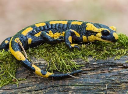 Salamandra – najpiękniejszy przedstawiciel płazów!