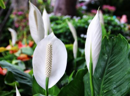 Skrzydłokwiat – elegancka roślina doniczkowa, która oczyszcza powietrze