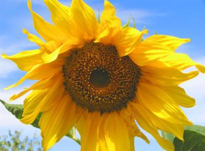 Słonecznik lub koniczynka na chandrę
