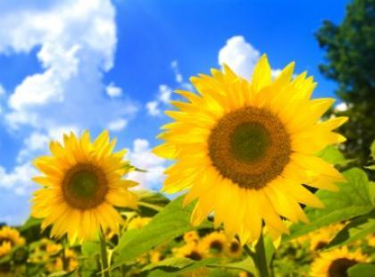 Słoneczniki - symbole słońca