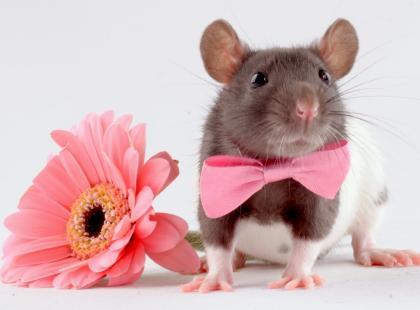 Szczur domowy – co trzeba wiedzieć przed przygarnięciem pupila?