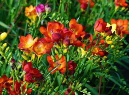 Szukasz kwiatów do wazonu, które postoją dłużej niż tydzień? Wybierz frezje!