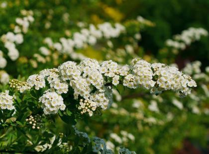 Tawuły - krzewy w bieli i różu. Możesz posadzić wysoką i wczesną lub niską, zakwitającą późnym latem. Poznaj je