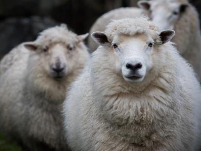 Te owce są najtragiczniejszymi ofiarami mody. Jak wygląda smutne życie merynosów zanim ich wełna trafi na twoje stopy?