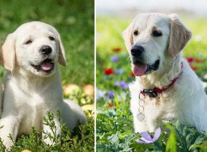 Te zdjęcia pokazują, jak szybko małe szczeniaczki dorastają i stają się dorosłymi zwierzętami