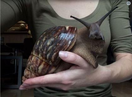 To nie fotomontaż: coraz więcej ludzi hoduje w domach ogromne ślimaki! Można je kupić także w Polsce