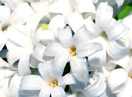 Triumf hiacyntów na wiosnę