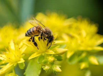 Uczulenie na jad pszczoły – jak je zwalczyć?