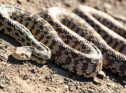 Ukąszenie węża - pierwsza pomoc